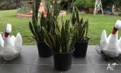 Established large Sansievera plants in pots ready to