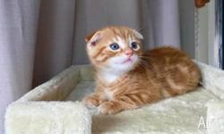 Our Scottish Fold kittens are looking for their new