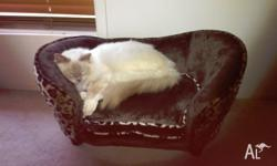 6YR OLD FEMALE SEAL POINT RAGDOLL CAT DESEXED MICRO