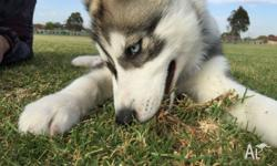 7 months old male husky. He is really playful, need a