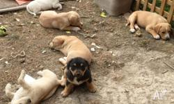 I have seven adorable Jack Russell cross puppies for
