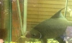 I have a huge Grey shark for sale - needs 6ft tank or