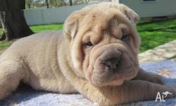 sharpei puppies seeking a lovely home  All my puppies