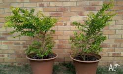 Sheena's gold plants one metre in height, no pots