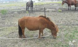 Shetland pony for sale approx 10 hands high and 7-9