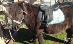 for sale 3 for the price of 1 10.1 hh 8 yo Shetland