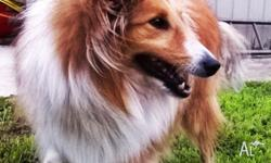 We are selling our pet shetland sheepdog- sheltie to a