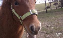Hello, I have for sale a yearling chestnut colt. Born