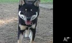 Black/Tan Shiba Inu - Pure bred Reason for selling: Can