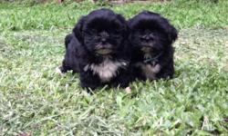 shih tzu Classifieds - Buy & Sell shih tzu across Australia