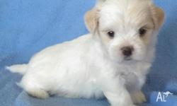 Very cute little Maltese x Shih Tzu 1 female left white