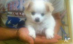 White cream eared puppy, male, 8 weeks old, cute and