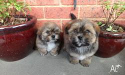 I HAVE 2 SHIH TZU CROSS TOY PAustralialisted PUPPIES