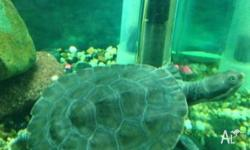 SELLING MY SHORTNECK MURRAY RIVER TURTLES Very active