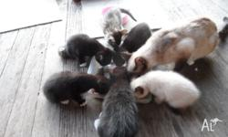 What we are selling is 4 Siamese X Kittens , weaned,