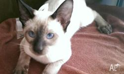 I have one male Siamese kitten. He is a very fun,