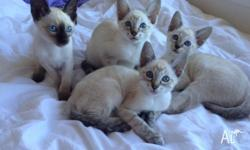 We have 4 Siamese / Oriental kittens available. 2 Males