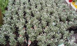 Silver Bush Excellent for hot spots. 6inch pots. $5.00