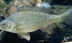 Also known as grunter, Murray perch or black bream, the