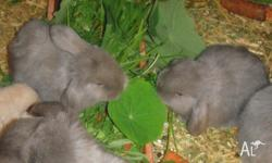 Six Adorable Baby Mini-Lop Rabbits - 8 weeks old I have