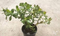 I have for sale a small potted crassula succulent