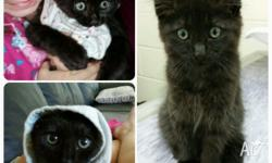 Fluffy black female kitten. Litter trained. 12weeks