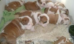 WE are reputable breeder proud to announce our new