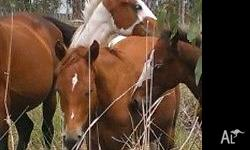 I have a yound colt for sale. He is from the my