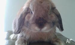 We have a 10 month old Sooty Fawn Mini Lop Buck for