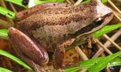 LOTS of lovely young SBTF's available. Easy care frogs