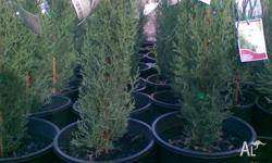 Spartan Grows to 4mts tall and 1mt wide.20cm pots