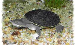 We have baby short neck turtles for sale. They are