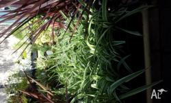 Spider plants are one of the easiest plants to grow,