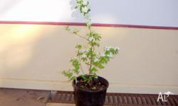 I have ONE flowering Spirea in a big pot, ready to