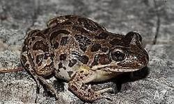 We have spotted marsh frogs for sale with beautiful