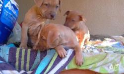 Staffordshire terrier puppies for sale � born 1 May and