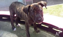 Be quick one puppy left - 1 female red Brindle left 2