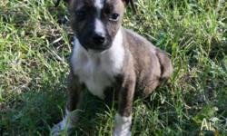 English Staffordshire Bull Terrier Pure Bred $500- Male