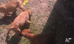 5 males and 5 female pups for sale red/brownish colour.