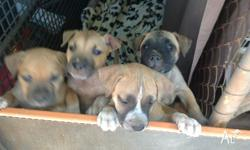 American Staffy pups for sale 1 girl and 3 boys only