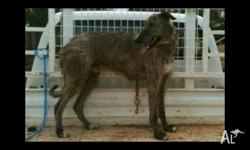 2 nice staghound pups for sale. Sire is used on pigs,