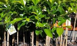 I HAVE STANDARD FICUS FOR SALE TWO SIZES AVAILABLE, TWO