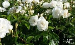 I HAVE HUNDREDS OF 3 FOOT STANDARD ROSES THESE ARE TOP