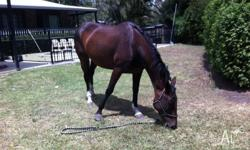Name: Hope Age: 7 Height: 16.2 hh Rider Suitability: