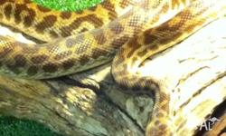 We have a nice pair of stimpson pythons avalable and