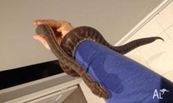 4 year old stimson python approx 1m in length. very