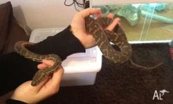 Male stimsons python for sale Feeding well on large