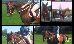 Jim is a 14.2hh 16 yr old by his brands stock horse x