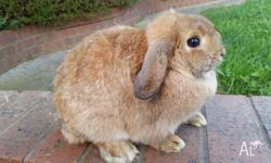 hi i have some beautiful mini lops and netherlands for