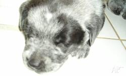 Stumpy Tail Cattle Pups (born 21st January) We have 3